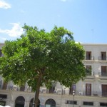 Limetten-Baum