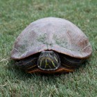 Schildkröte im Audubon Park